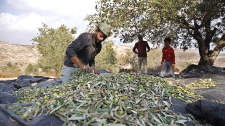 إنتاج الزيتون يتراجع بنسبة 50 بالمائة!