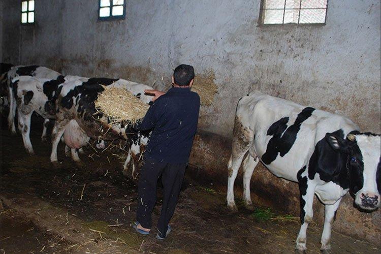 مرض نادر يفتك بالأبقار ويثير طوارئ بسكيكدة