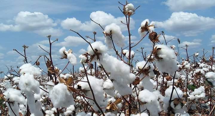 Burkina Faso: Une prévision de 629500 tonnes de coton graine pour la campagne 2021-2022