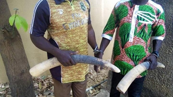 Burkina Faso : Trois trafiquants d'ivoire condamnés à des peines de prison ferme