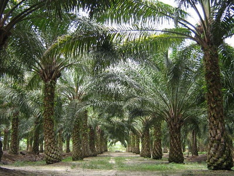 Développement du palmier à Huile et de l'Hévéa: L'Etat veut augmenter la production annuelle