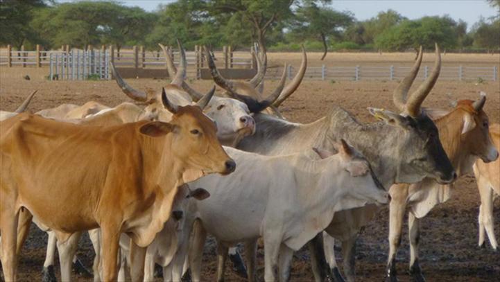 les commerçants de bétails entre le marteau et l'enclume