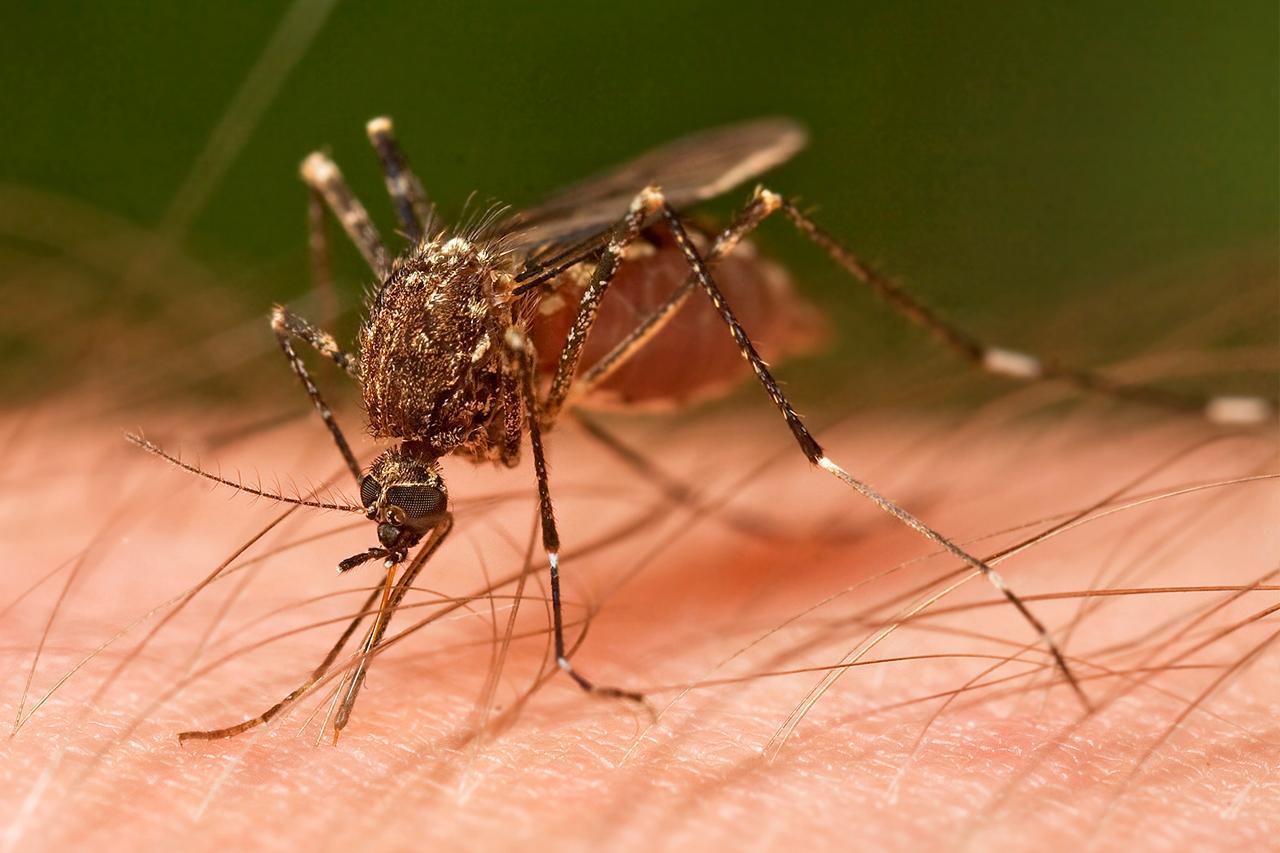 Paludisme : un projet d'étude sur la modification génétique des moustiques
