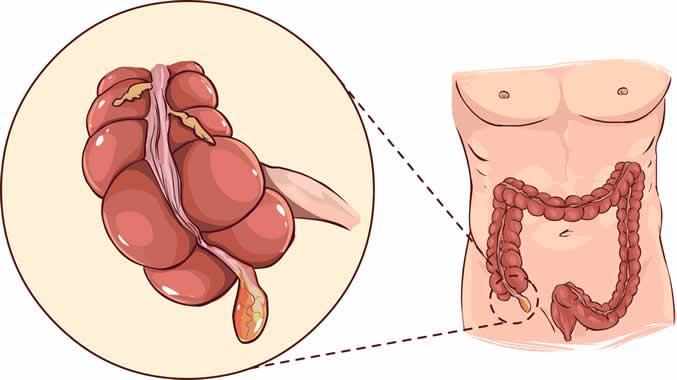 Quel est le rôle de l'appendice chez les humains ?