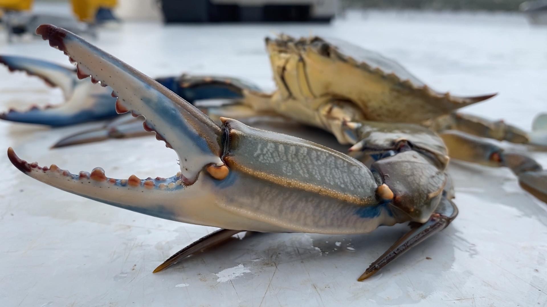 Crabe bleu : invasion biologique en Méditerranée