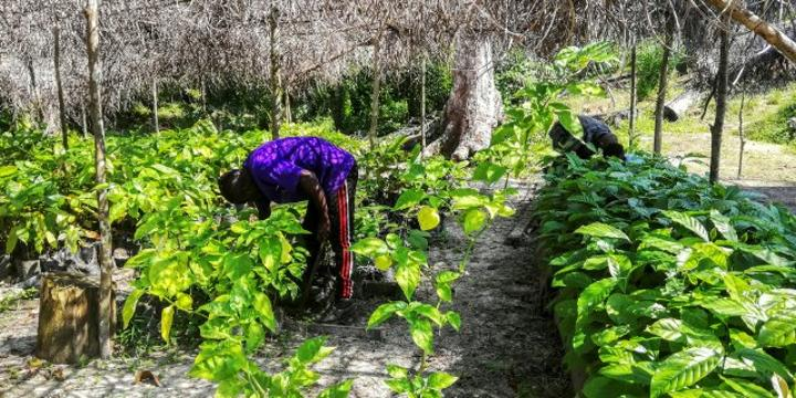 Le projet Jecca vise la plantation de 1 000 hectares de cacaoyers d'ici à 2025.