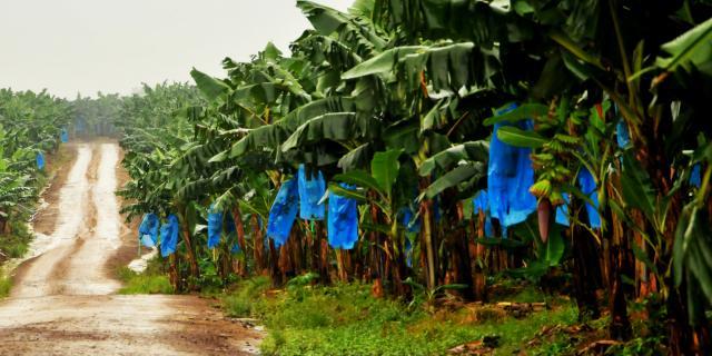 Cameroun : la filière bananière retrouve des couleurs