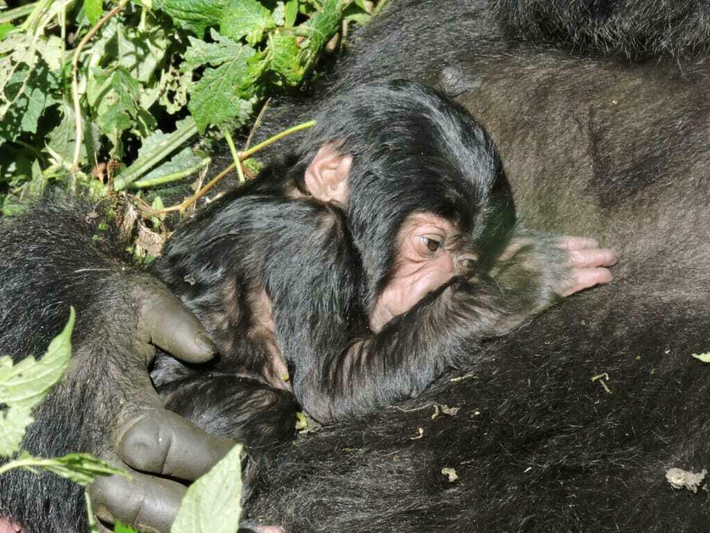 RD Congo : naissance d'un gorille de montagne au parc national des Virunga