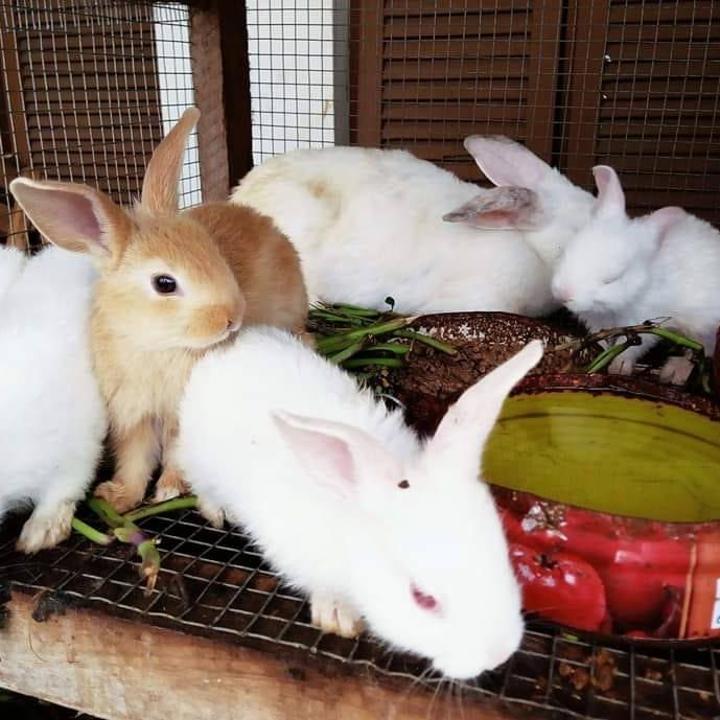 Le gouvernement annonce la mort de plus de 6.000 lapins de fièvre hémorragique en Côte-d'Ivoire