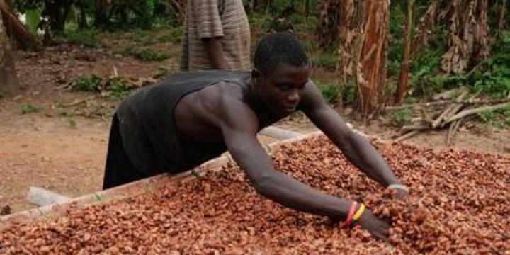 Cacao/différentiel de revenu décent: «516 milliards FCFA payés aux planteurs» (conseil café-cacao)