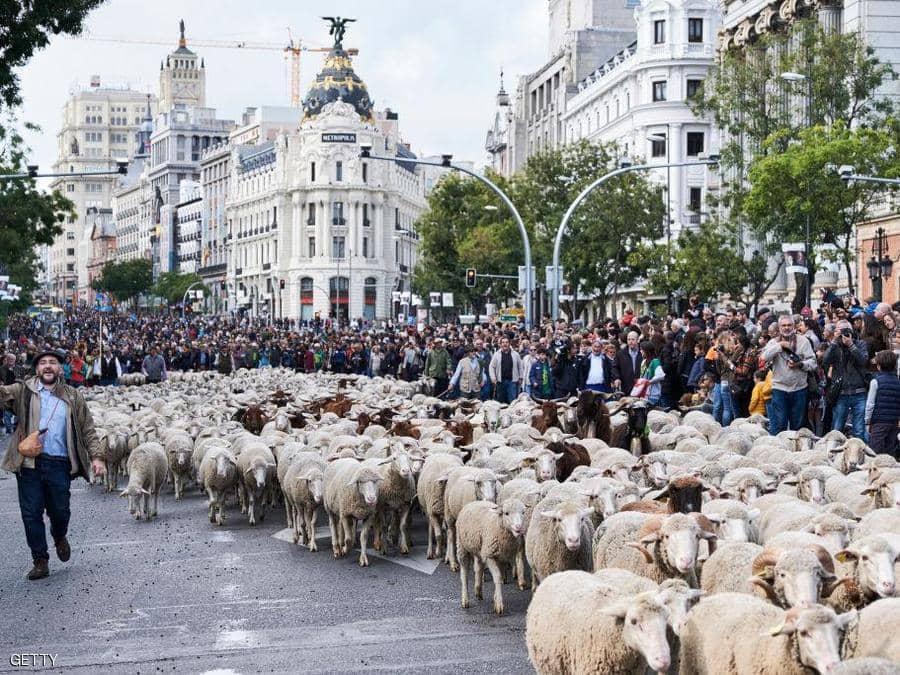 أغنام تجوب شوارع وسط مدريد