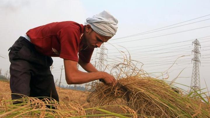 مصر: ارتفاع سعر الأرز مع بدء موسم الحصاد