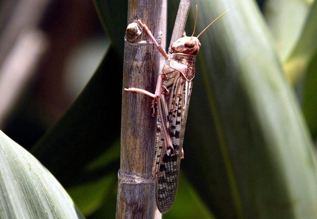 Eritrea contend desert locust