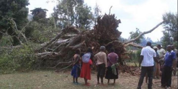 Mugumo Tree Falls & Bursts into Flames