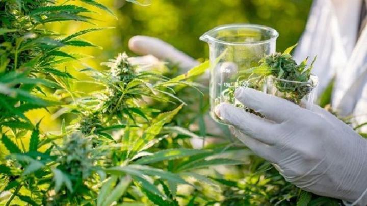 البرلمان يناقش دراسة جدوى الاستعمال الطبي للكيف