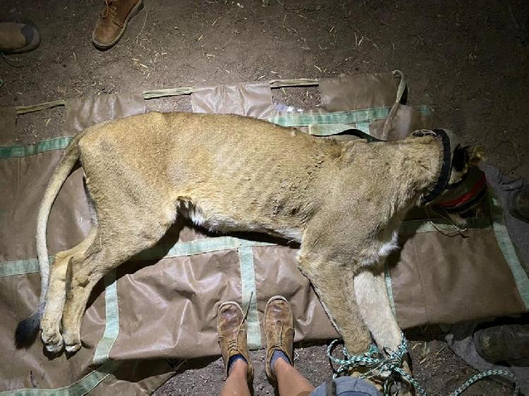 Lions headed for wildlife sanctuary - The Namibian