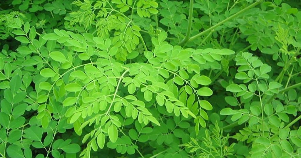 The numerous benefits derived from the Moringa tree