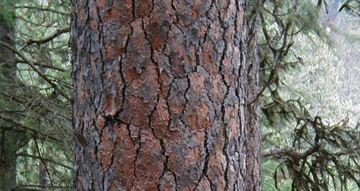 علماء يكشفون عن فوائد لشجرة التنوب السيبيري في إطالة مرحلة الشباب