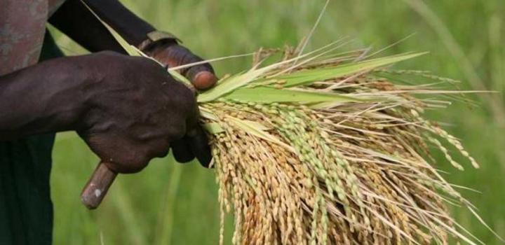 Bassin de l'Anambé à Kolda : Face aux premiers semis, les riziculteurs retrouvent le sourire