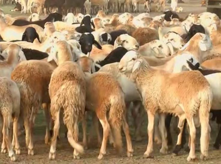 شركة تتبع للجيش السوداني تتجه لتصدير 200 ألف رأس ماشية لمصر