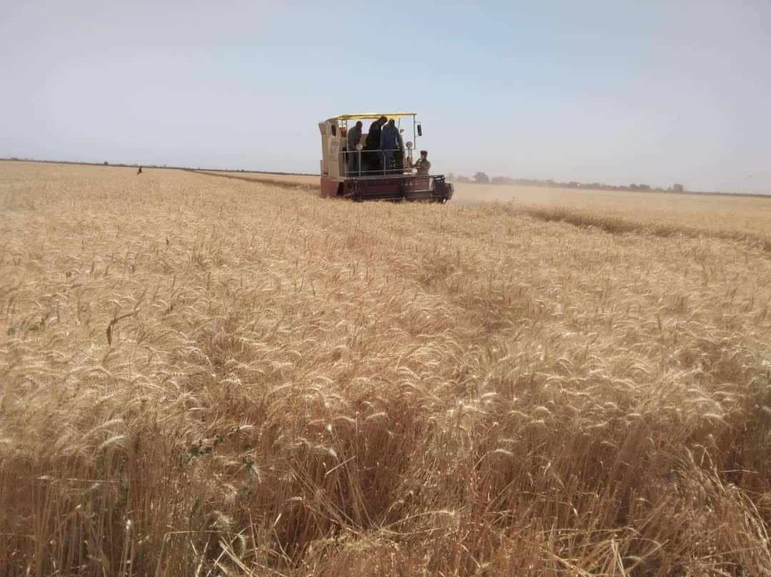 البنك الزراعي بالشمالية:مستعدون لتمويل أكثر من 90% من المساحة المراد زراعتها بالقمح