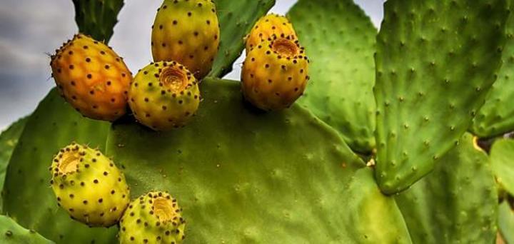 وزارة الفلاحة تؤكد احداث لجنة فنية لمنع تسرب الحشرة القرمزية على نبات الصبار