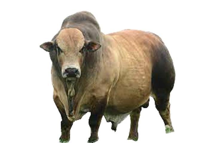 Teso clerics get 100 high breed bulls