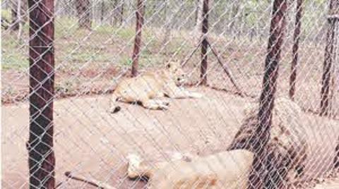 ZimParks Launches A Lion Park In Masvingo