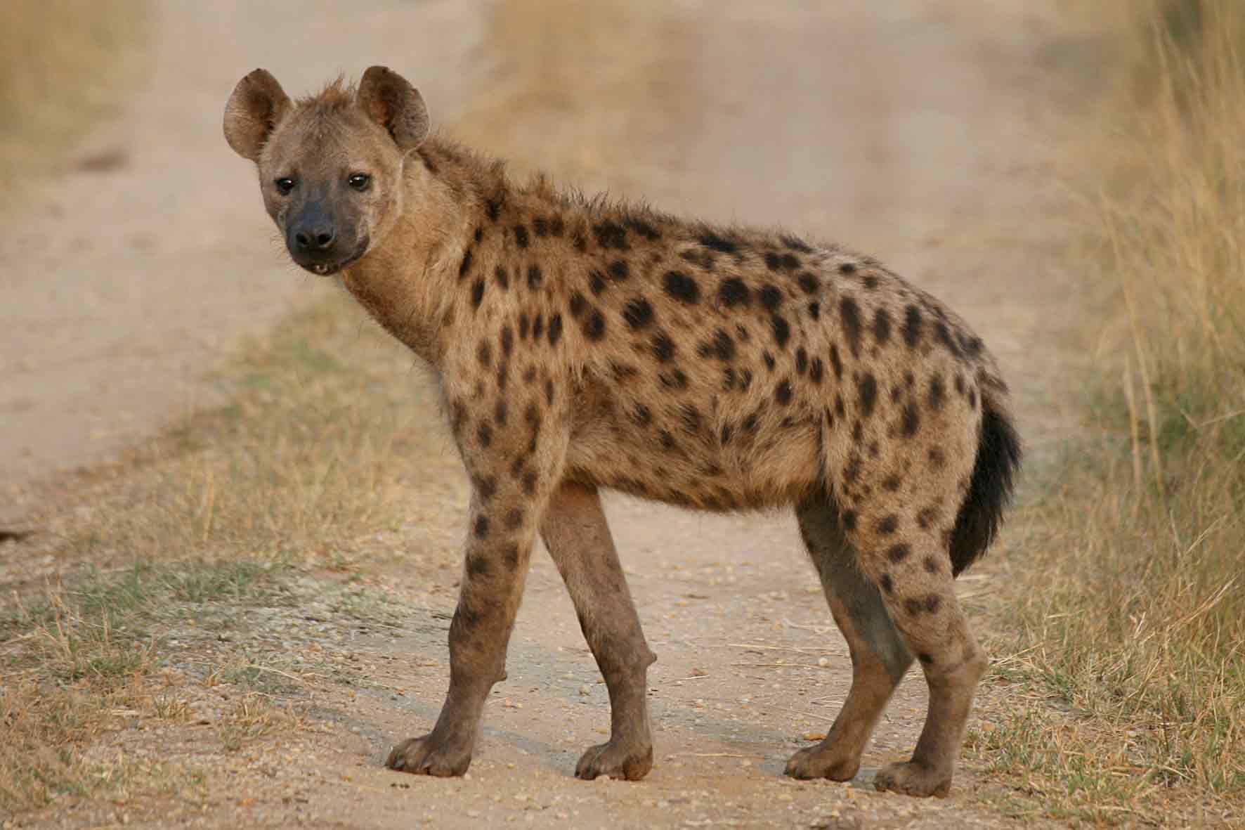 Hyenas Feast On Murdered Mhangura Man's Body