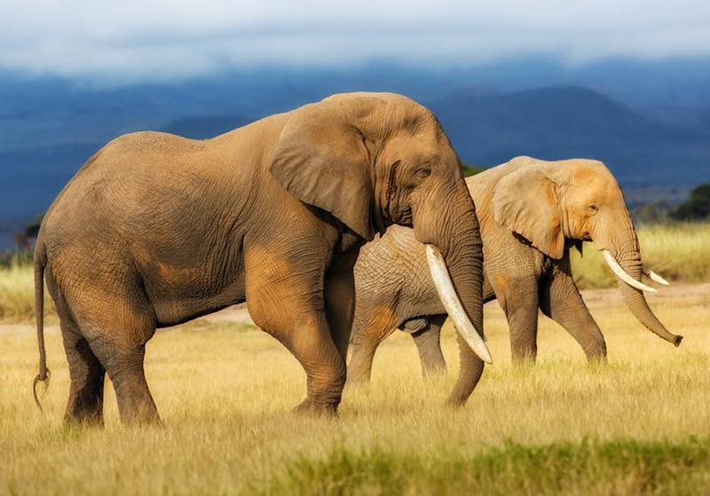 Zimbabwe's Elephant Culling Stirs Debate