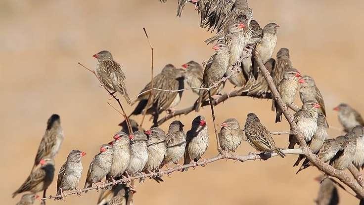 Govt Buys Fake Quelea Birds Pesticides