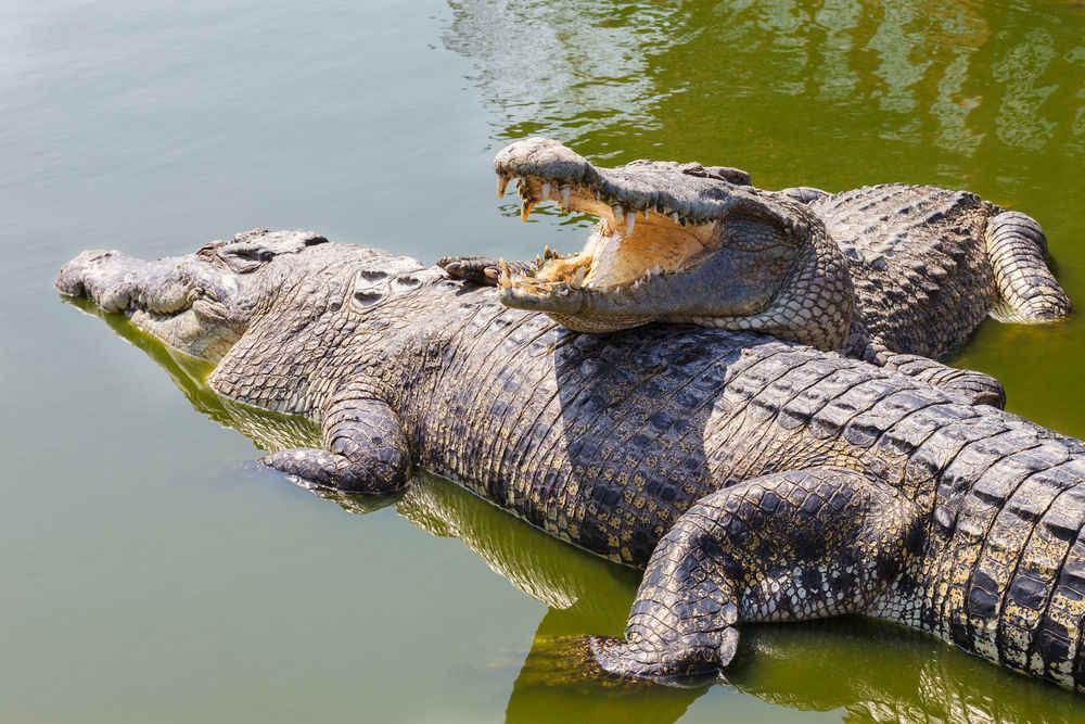 Crocodiles Halt Destruction Of Illegal Smugglers' Bridge